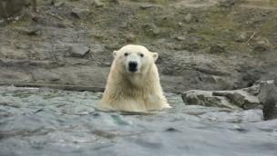 Milana erobert Kanada: Neue Eisbärin lernt Yukon Bay im Erlebnis-Zoo Hannover kennen