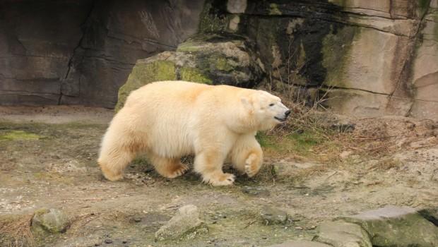 Erlebnis-Zoo Hannover Eisbärenweibchen Milana