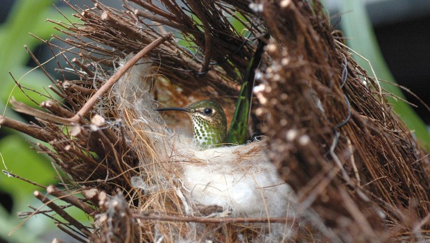 Kolibri-Nest im Weltvogelpark Walsrode