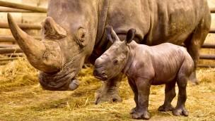 Dritte Nashorngeburt in Folge:  Der Serengeti-Park Hodenhagen freut sich über ein junges Dickhäuter-Trio