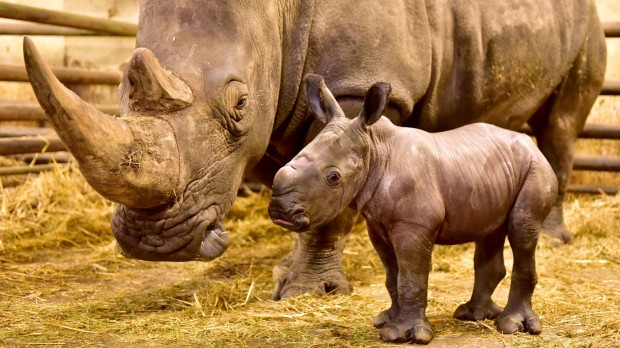 Serengeti-Park Hodenhagen Nashorn Geburt