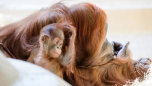 Hellabrunner doppelter Orang-Utan-Nachwuchs erhält Namen