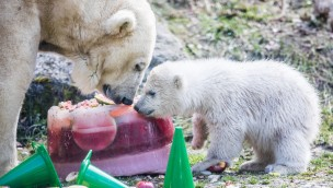 """Eisbären-Mädchen vom Münchner Tierpark Hellabrunn erhält Namen: 90.000 Stimmen für """"Quintana"""""""