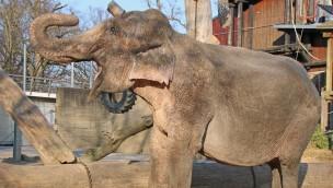 Zoo Karlsruhe Elefantenkuh Nanda