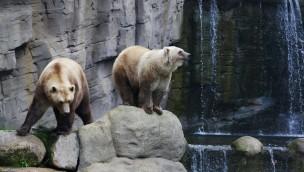 """Nach Ausbruch von Mischlingsbärin """"Tips"""" im Zoo Osnabrück: Bruder """"Taps"""" wieder auf Außenanlage zu sehen"""