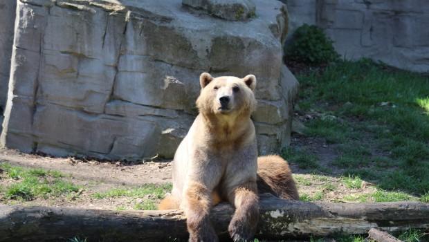 Hybridbärin Tips im Zoo Osnabrück