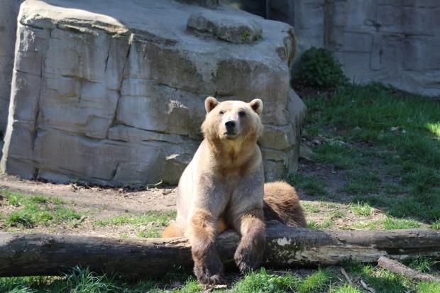"Hybridbärin ""Tips"" im Zoo Osnabrück"