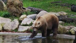 """Ursachenklärung für Ausbruch von Mischlingsbärin """"Tips"""" im Zoo Osnabrück: Präsidium des Zoovereins steht hinter Tötung des Raubtiers"""