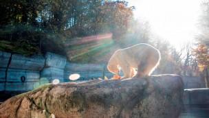 """Eisbär in Hellabrunn gestorben: Münchner Tierpark trauert um """"Yoghi"""""""