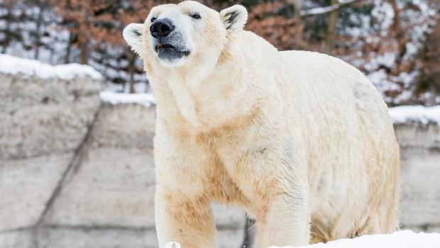 Eisbär Hellabrunn tot Yoghi