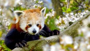 GaiaZOO - Roter Panda