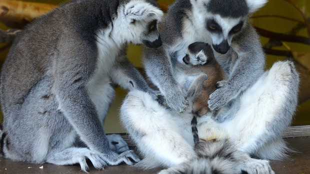 Katta-Familie im Jaderpark zu ostern 2017