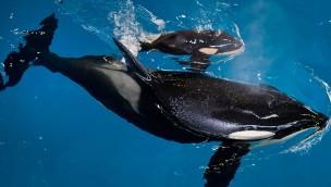 Mini Killerwal Baby SeaWorld San Antonio 2017