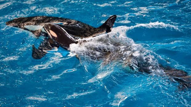 Orca-Baby Killerwal SeaWorld San Antonio