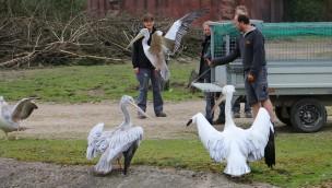 Pelikane der ZOOM Erlebniswelt läuten den Frühling 2017 ein: Wasservögel verlassen ihr Winterquartier