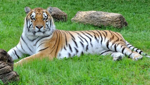Christian Wallisers Raubtierhof Tiger