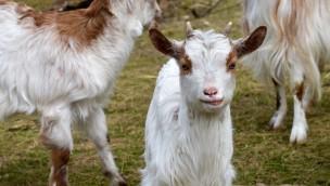 Girgentana-Ziegen im Tierpark Hellabrunn mit vierfachem Nachwuchs im Frühjahr 2017
