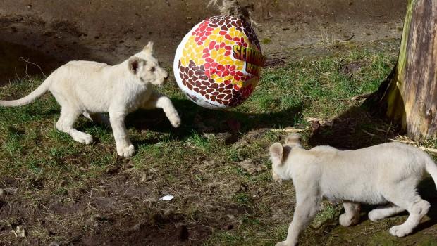 Weiße Löwen im Serengeti-Park mit Osterei