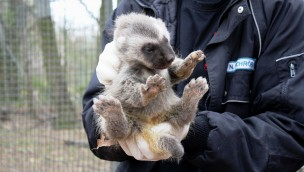 Zoo Osnabrück Nachwuchs Vielfraß