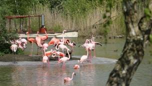 Flamingos erobern den Afrikasee in der ZOOM Erlebniswelt: Rosa Vögel verlassen ihr Winterquartier