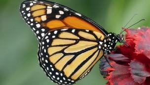 Alaris Schmetterlinkspark Wittenberg Falter auf Blume
