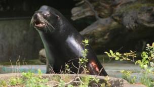 """Seelöwe """"Diego"""" neu im Zoo Osnabrück: Männliche Verstärkung für weibliches Trio"""