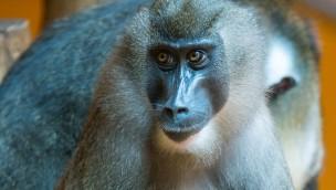 Tierpark Hellabrunn unterstützt Initiative zum Schutz der Drills in Kamerun