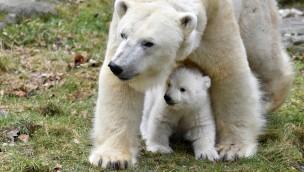 Eisbär-Mama mit Baby im Tierpark Hellabrunn
