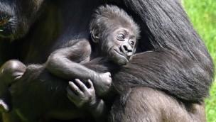 Erlebnis-Zoo Hannover: Nachwuchs der Flachland-Gorillas und Präriehunde jetzt im Freien zu sehen