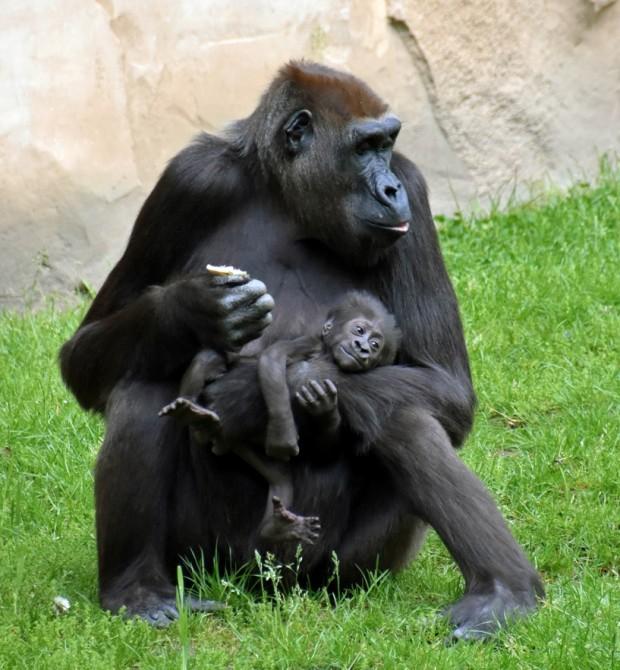 Flachland Gorilla Nachwuchs im Zoo Hannover 2017