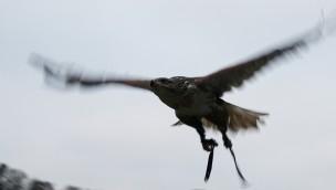Greifvogel entflogen