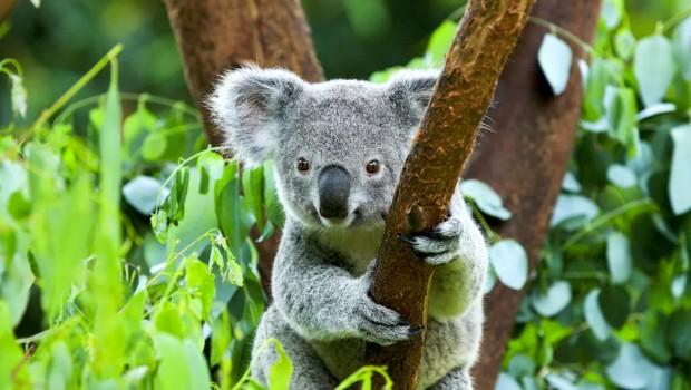 Koala Pairi Daiza Zoo Belgien