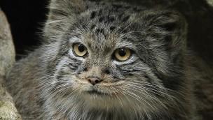 Manule neu im Tierpark Hellabrunn: Pallaskatzen ab sofort in der Dschungelwelt zu sehen