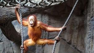 Orang-Utan im Zoo Leipzig
