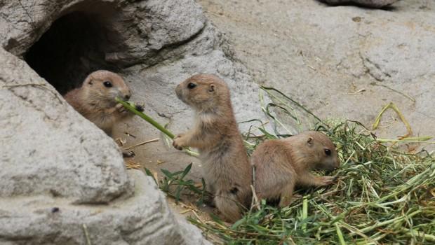 Präriehunde Babys 2017 im Zoo hannover