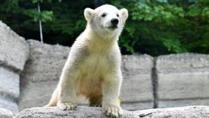 """Eisbären-Nachwuchs """"Quintina"""" im Tierpark Hellabrunn entdeckt die Felsenanlage"""