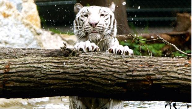 Serengeti-Park Weißer Tiger