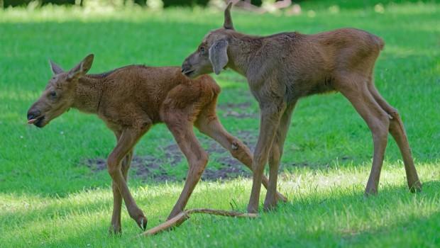 Tierpark Hellabrunn Nachwuchs Elche