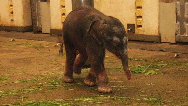 Zoo Hannover Elefant Baby Floh