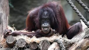 Zoo Rostock Orang-Utan Hsiao-Ning