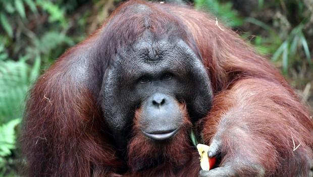 Zoo Rostock Orang-Utan Sabas