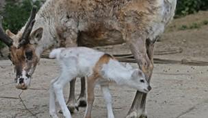 """Kleine Rentiere in """"Alaska"""": ZOOM Erlebniswelt freut sich 2017 über dreifachen Nachwuchs"""