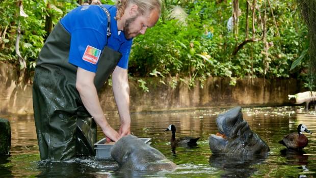 Burgers' Zoo Mangrove Seekühe