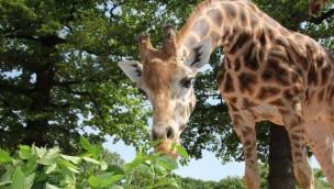 """Erlebnis-Zoo Hannover trauert um """"Juji"""": 13-jähriges Giraffenweibchen ist heute verstorben"""