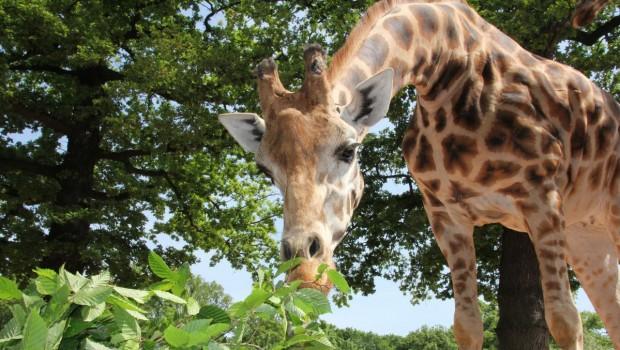 Erlebnis-Zoo Hannover Giraffe Juji