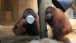 Orang-Utans aus dem Erlebnis-Zoo Hannover kommen in den Zoo Fort Worth in Texas
