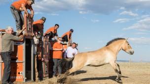 Przewalskipferd-Stute aus dem Tierpark Hellabrunn wird in der Mongolai ausgewildert