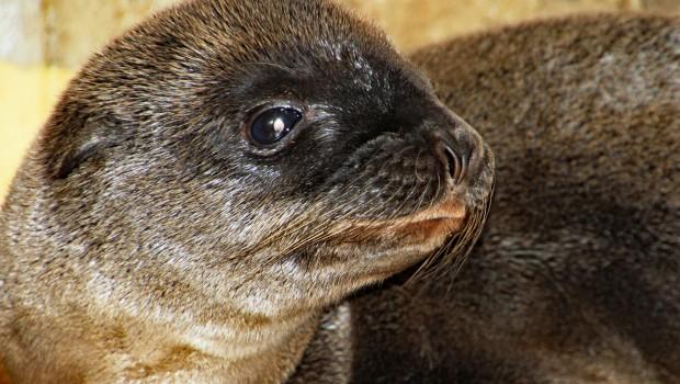Seelöwe - Baby - Zoo Karlsruhe Nahaufnahme