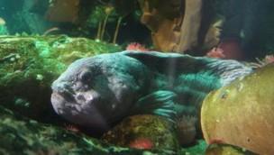"Leben bei 8°C: SEA LIFE Oberhausen stellt ""coolsten"" Fisch des Aquariums vor"