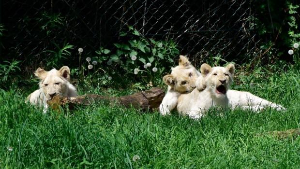 Serengeti-Park Nachwuchs 2016 Weiße Löwen